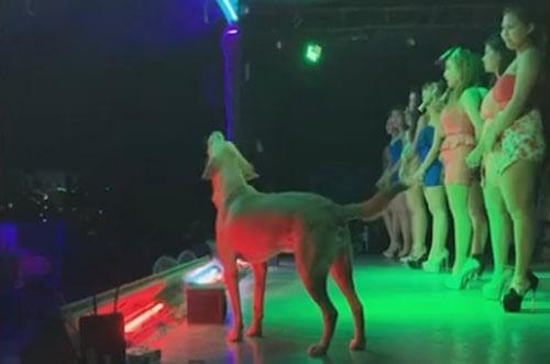 Тайский пес стал звездой ночного клуба