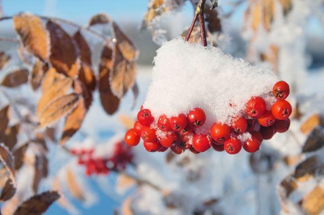 Оранжевая гроздь. Чем полезна рябина и что можно из неё приготовить