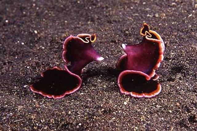 Плоские черви демонстрируют любовь пронзая друг друга животные, факты, фото