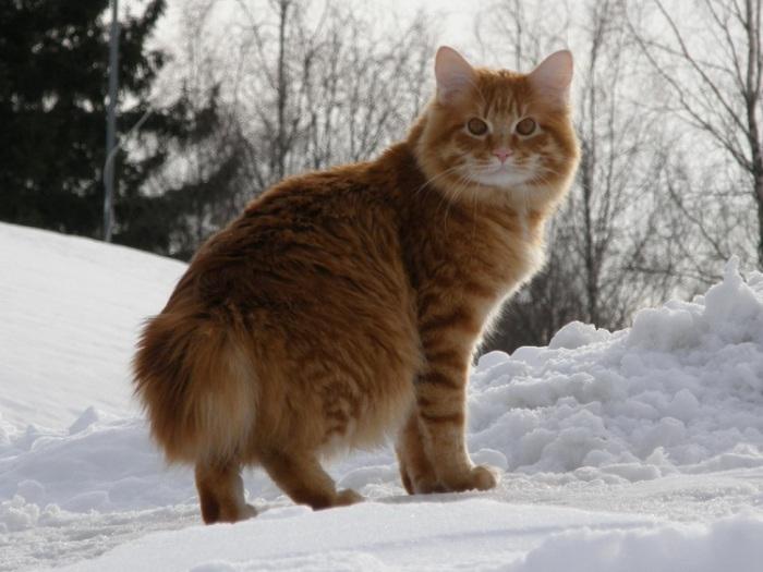 Российская порода домашней короткохвостой кошки. | Фото: udivitelno.com