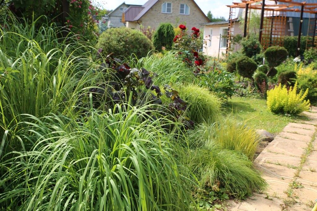 Ячмень гривастый в дизайне сада