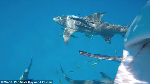 Акула, глотнувшая  видеокамеру, быстро разочаровалась и выплюнула добычу