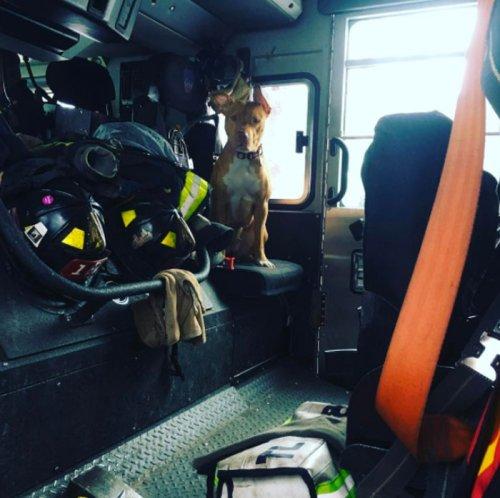 Голодавшая собака, брошенная хозяевами умирать, подружилась с пожарными и теперь живёт в пожарной части