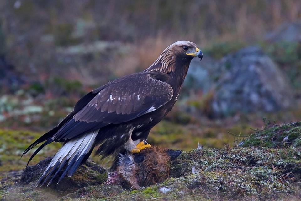 Орел - символ нового года