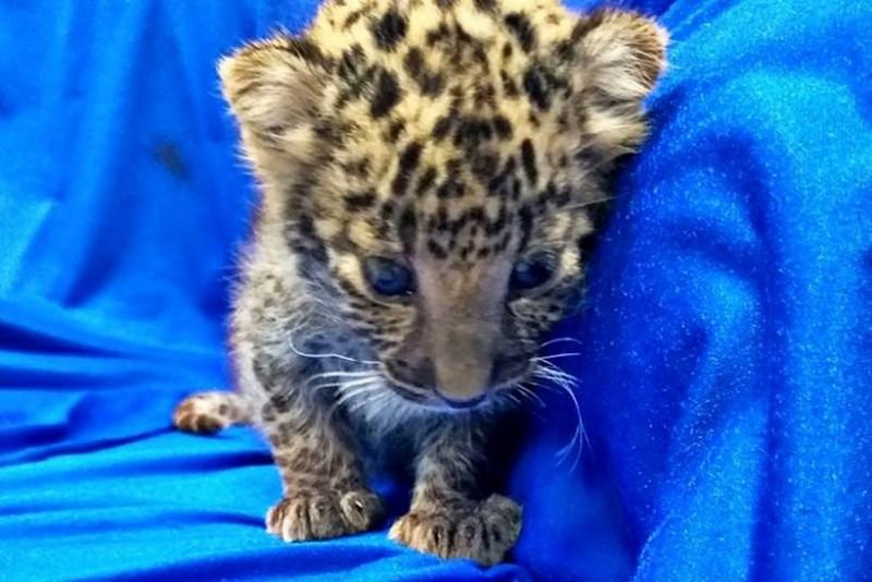 В Индии спасли маленького леопарда, которого незаконно везли в самолете