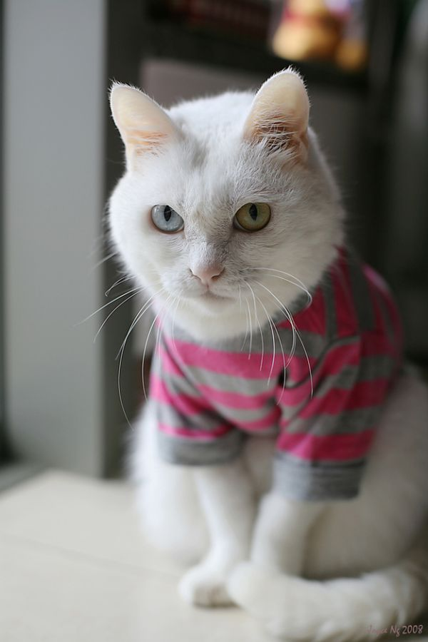 Heterochromia28 Разноглазые кошки