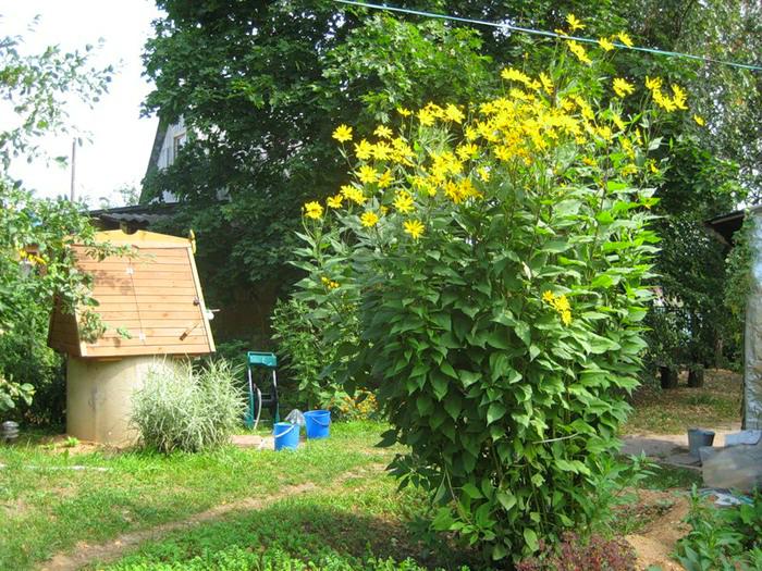 Удивительно полезное растение, которое любую свалку превратит в оазис