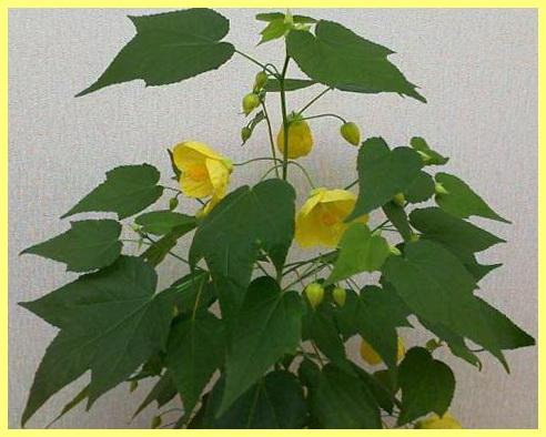 комнатные растения с желтыми цветами названия и фото