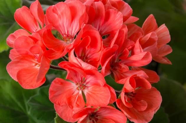 Пеларгония - неприхотливая любимица для дома и сада
