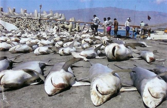Ежегодно в мире убивают ради деликатеса 100 миллионов акул!