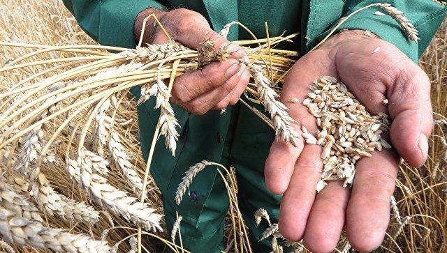 Минсельхоз: Россия может обогнать США в производстве пшеницы в 2016 году