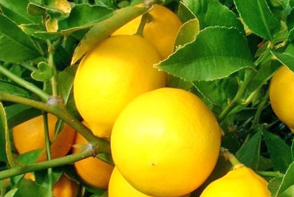 Лимон Майера