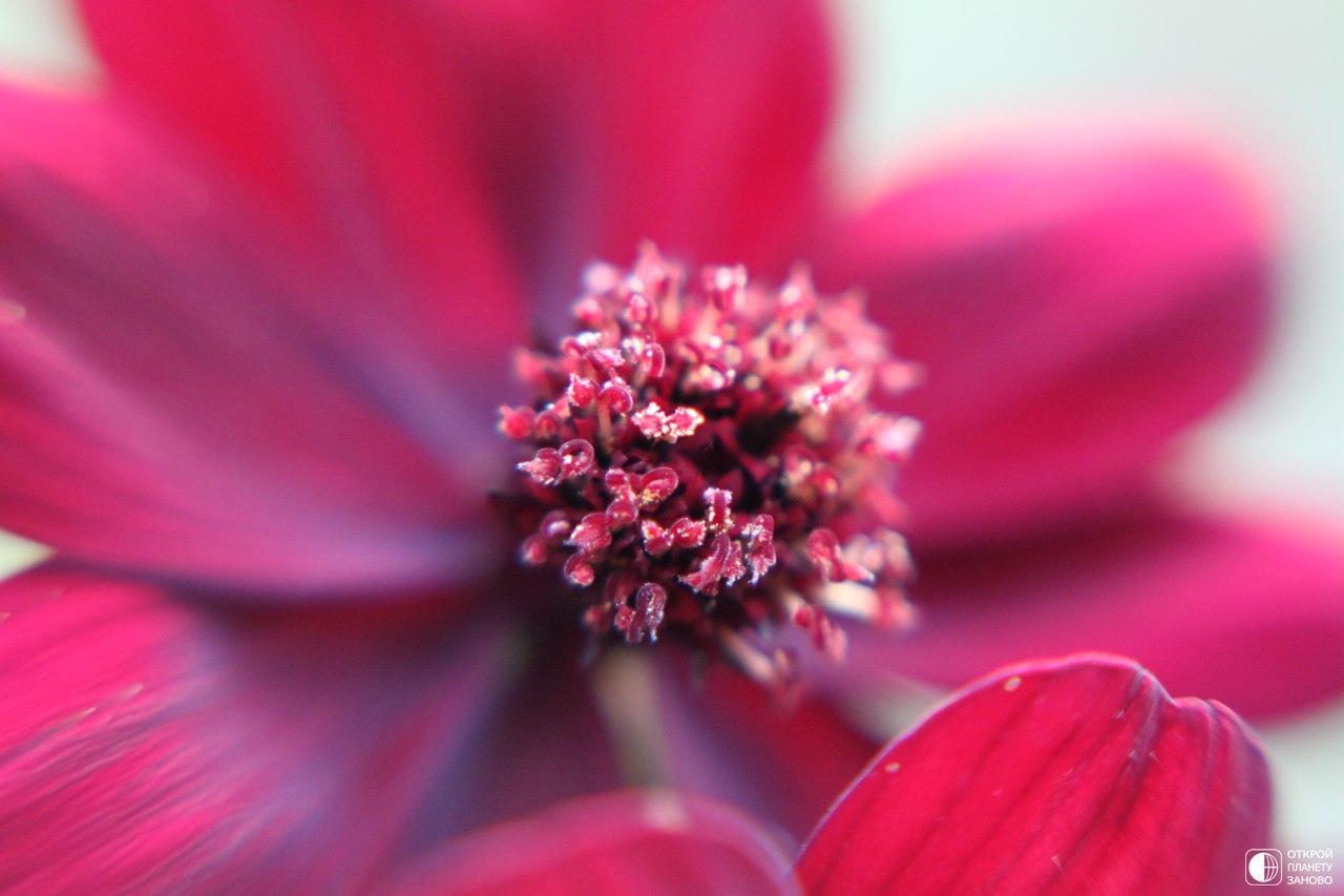 Цветок, который пахнет шоколадом