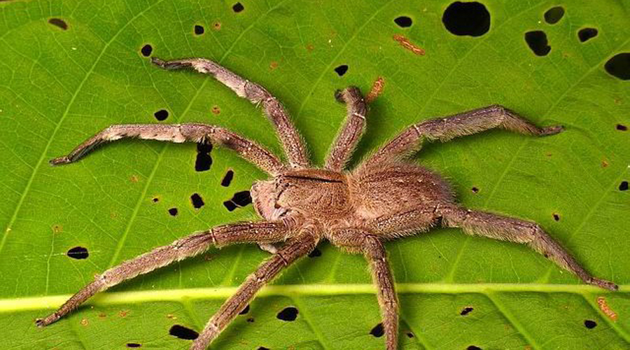 Восьминогий ужас: правда о крупнейших пауках мира