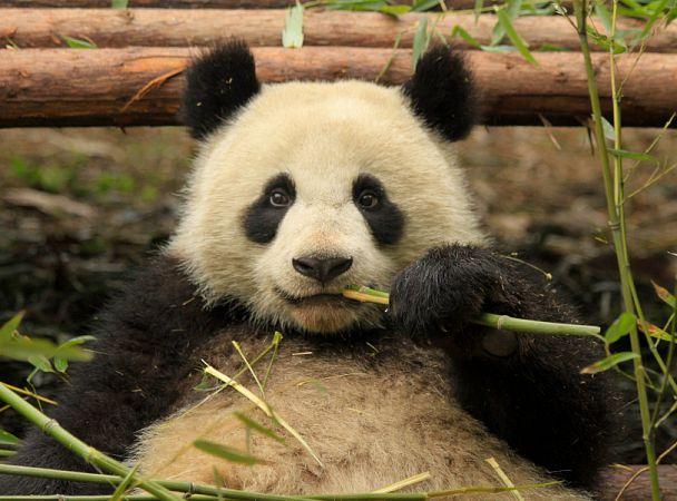 Панда притворилась беременной ради дополнительных булочек