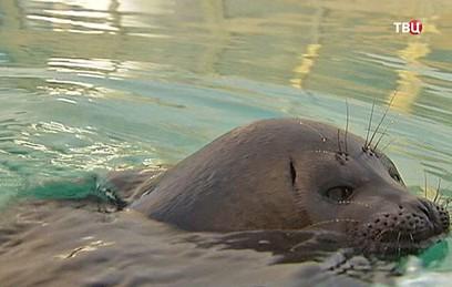 На Камчатке от стаи голодных собак спасли детеныша нерпы