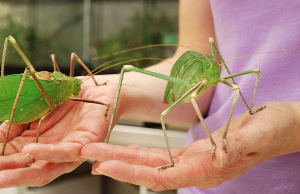Крупнейшие насекомые планеты