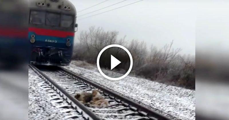 Пес 2 суток спасал жизнь раненной подруге, которая не могла встать с железнодорожных путей, прикрывая ее своим телом