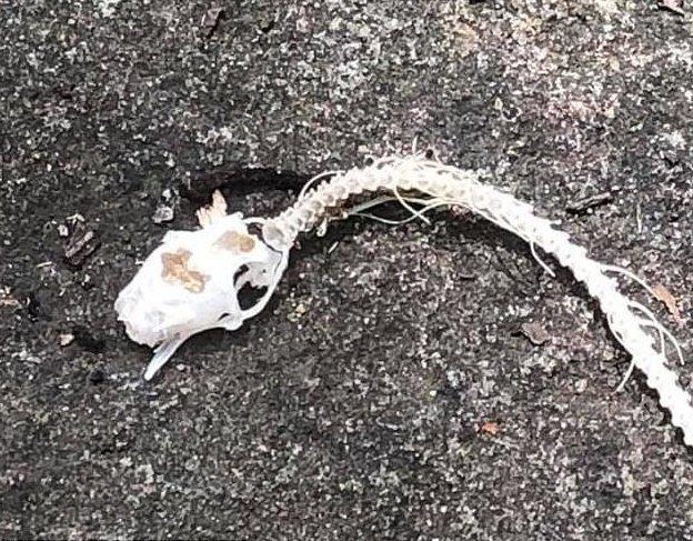 Гид наткнулся на жуткий скелет змеи, лишенный плоти. Как думаете, кто подчистую его объел?