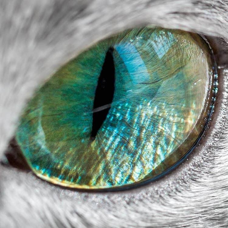 russian-blue-cats-22.jpg