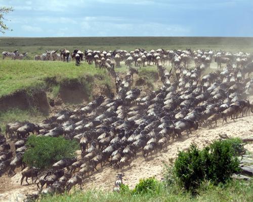 14 самых масштабных миграций животных