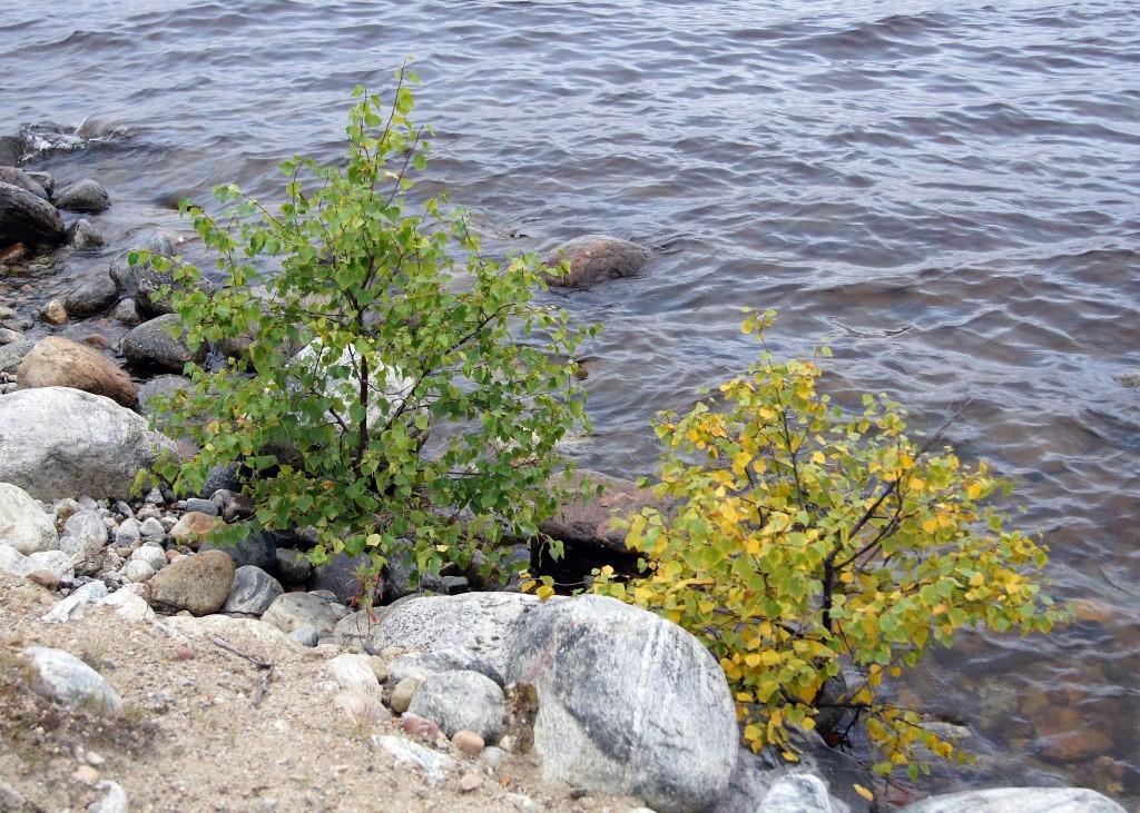 Калевала. Берёзки на берегу озера.