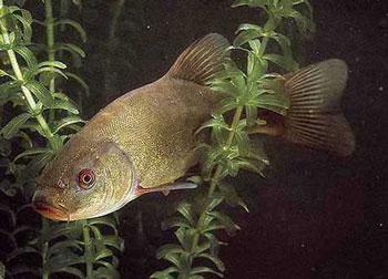 Разведение рыбы в пруду на дачном участке