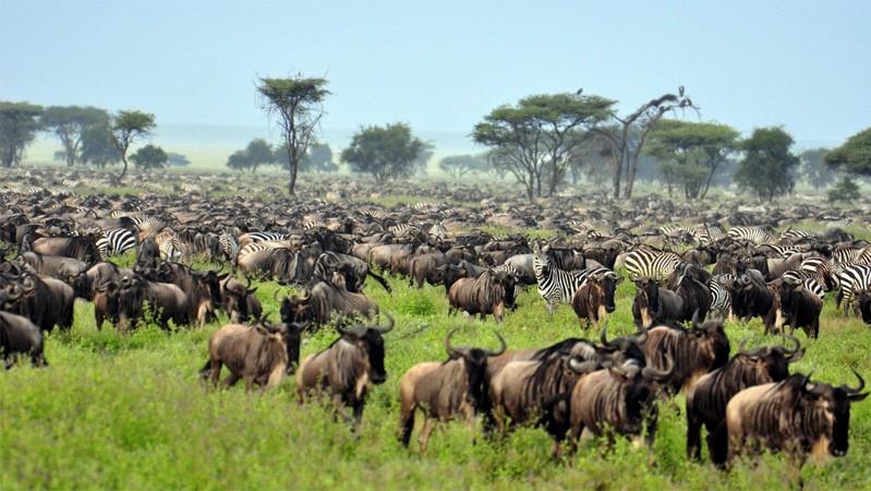 Грандиозные стада и стаи животных