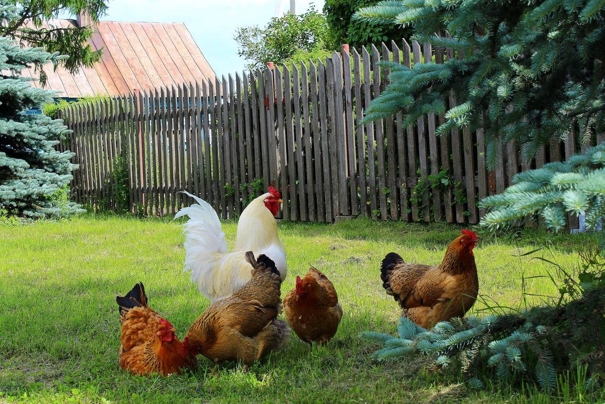 Деревенская куриная история