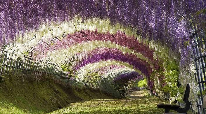 В парке цветов Асикага расцвели тысячи глициний