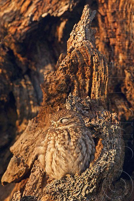 Невероятное умение сов оставаться незамеченными