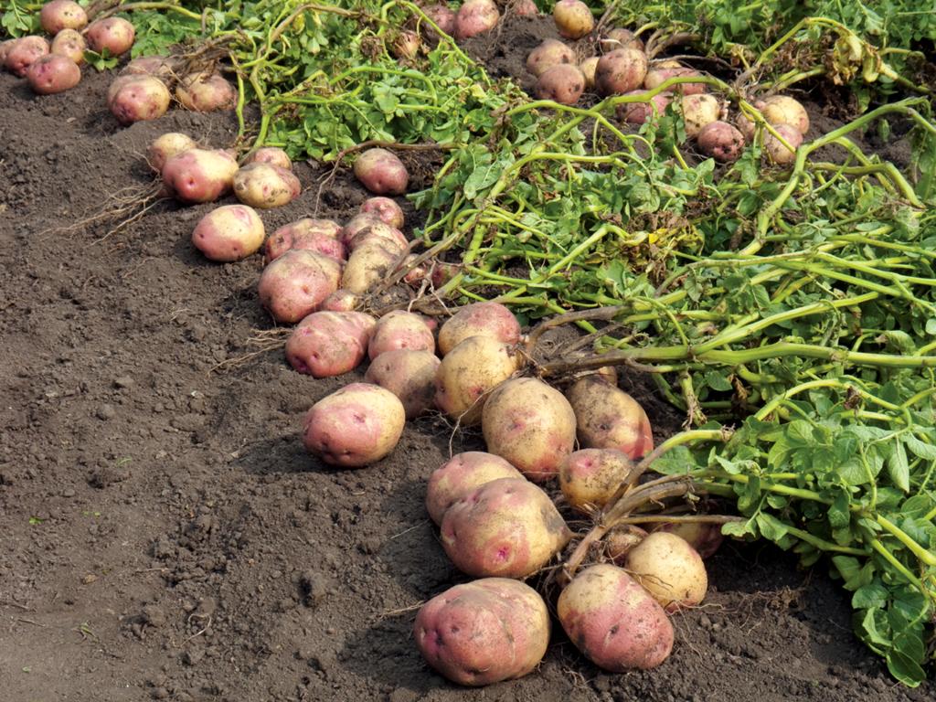 Что нужно знать о картофеле начинающему огороднику