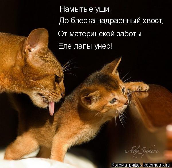 Котоматрица: Намытые уши, До блеска надраенный хвост, От материнской заботы Еле лапы унес!