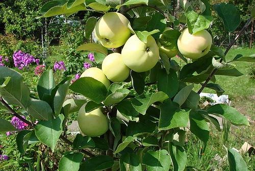 Меню для яблонь на пятилетку