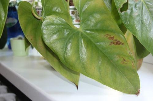 Листья антуриума желтеют, появляются пятна