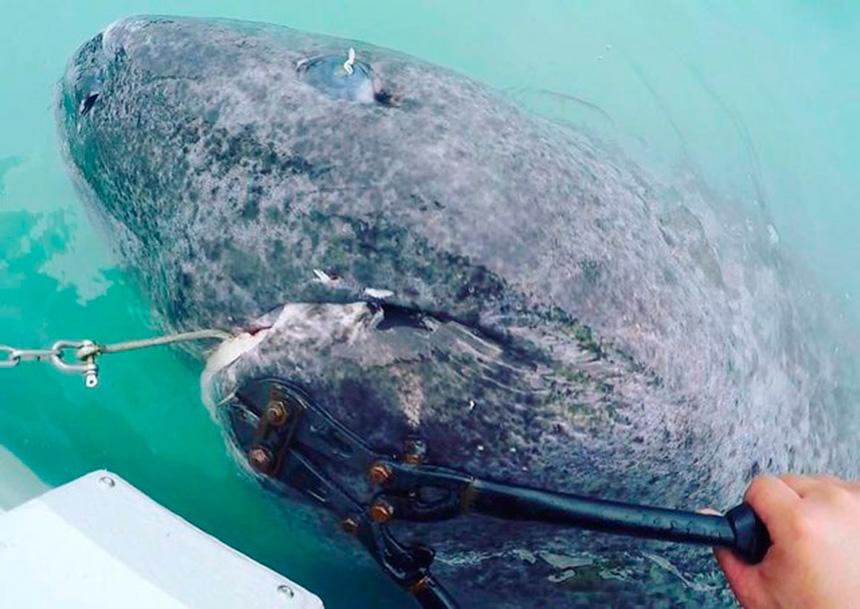 Ученые нашли живую акулу, которой 512 лет