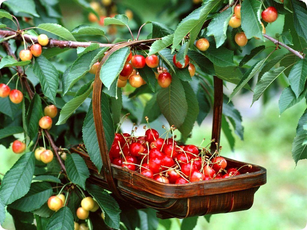 Чтобы сад плодоносил ежегодно