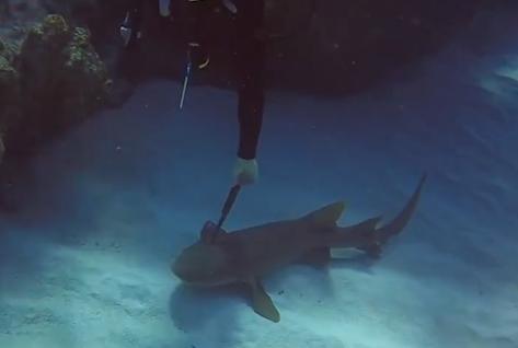 Дайвер вытащил 12-дюймовый нож из головы акулы на дне Карибского моря