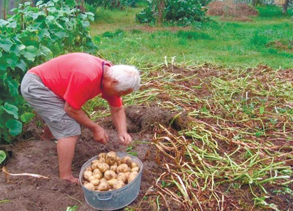 Выращивание картофеля с нуля 54