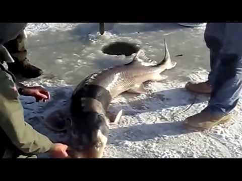 Рыбалка на зимние жерлицы  Вот это улов