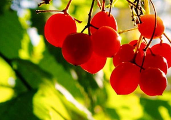 Топ – 5 растений для чистки сосудов. Что нужно сушить в саду для настоя и чая