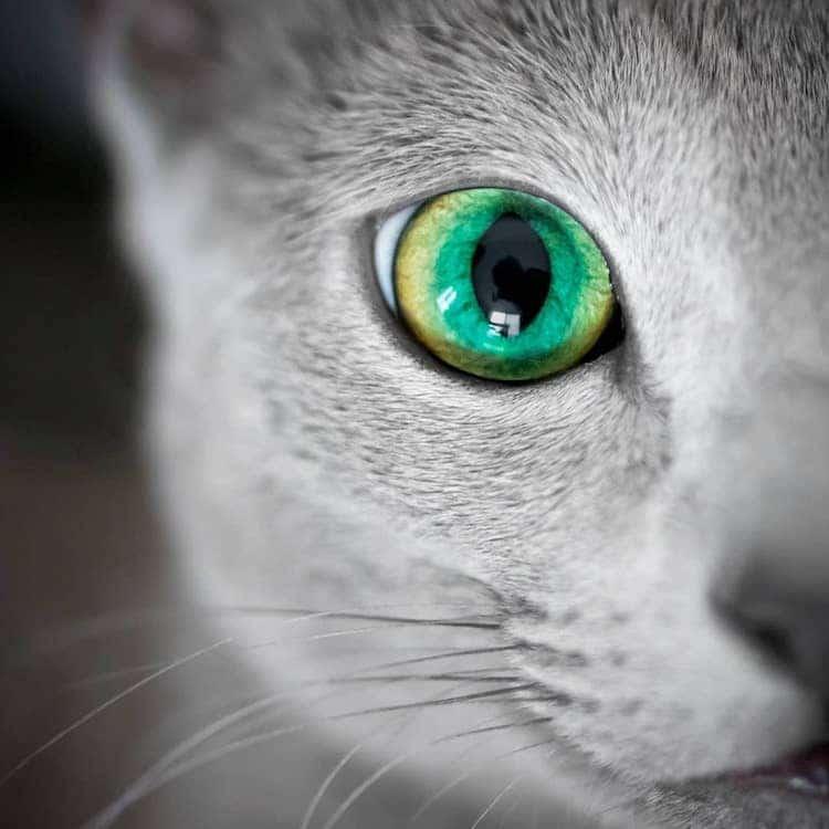russian-blue-cats-23.jpg