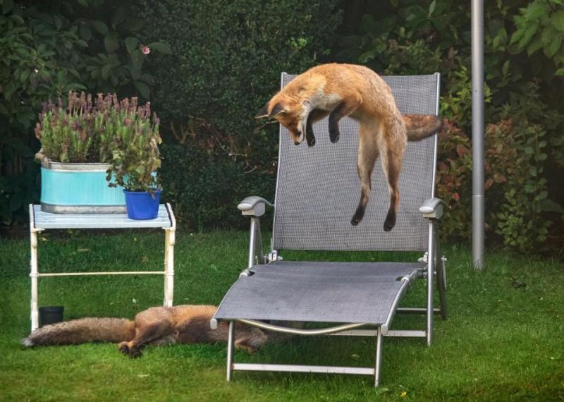 Шотландец заснял веселых лисичек, играющих в его саду