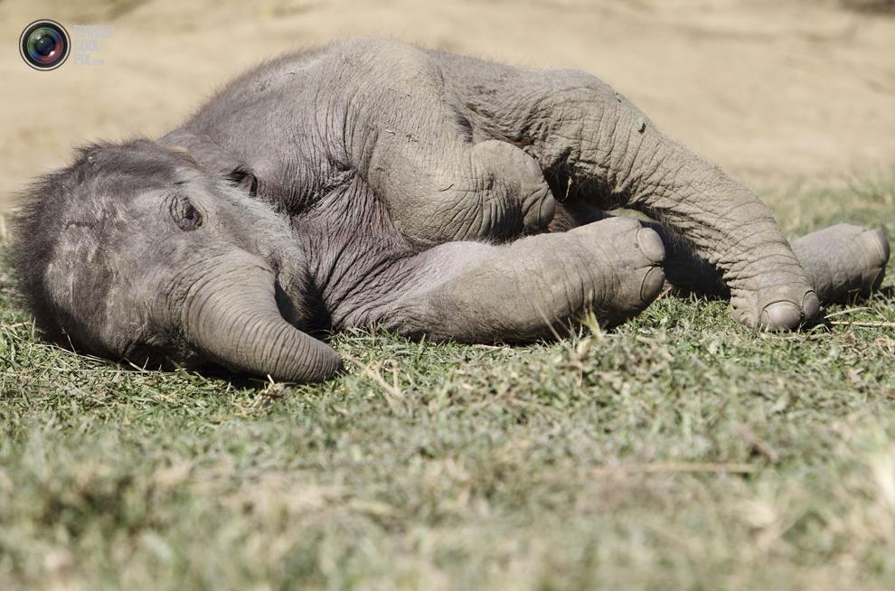 elephants 020 Слоны в национальном парке Читван