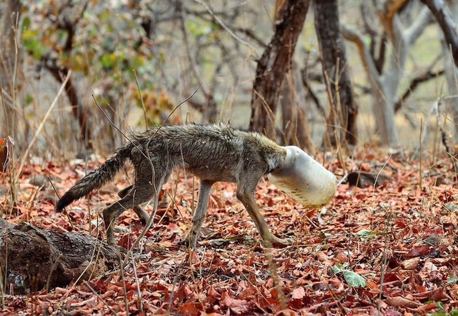 Волк с бутылкой на голове