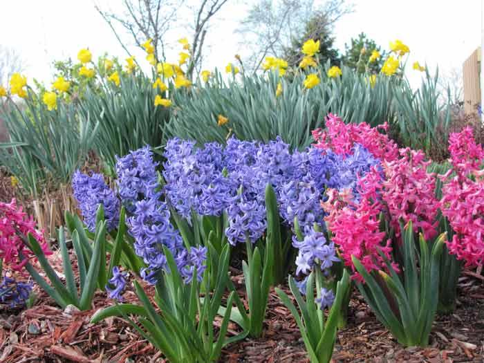 Луковичные цветы фото и названия  садовые и домашние