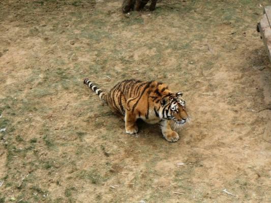 В Спасском районе Приморского края обнаружен труп тигренка