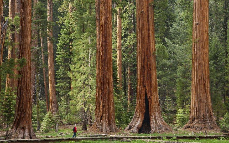 Современные деревья просто спички по сравнению с теми, что были раньше
