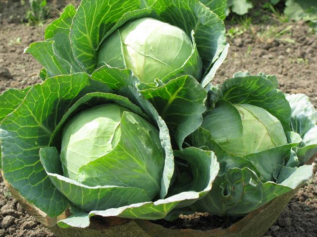 Народные средства против вредителей капусты