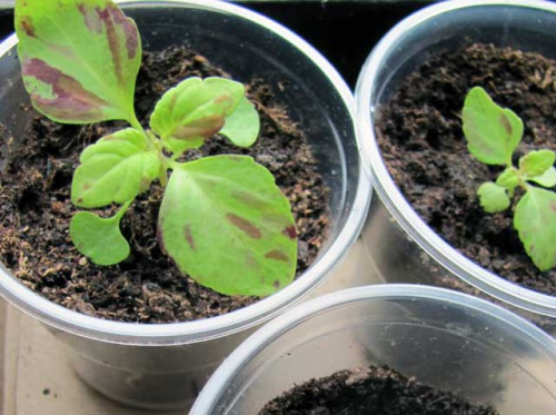 Какие комнатные растения можно выращивать из семян?